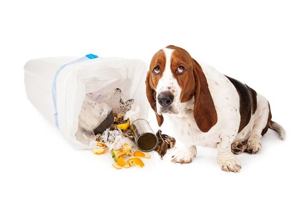 Bad dog eats garbage